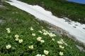 第三雪渓(チングルマ)(7月) .jpg