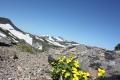 山頂から(エゾタカネスミレ)(6月).jpg