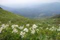 富良野岳山頂付近のエゾノハクサンイチゲ群落(7月).png