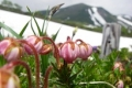 第一花畑(エゾコザクラ)(6月).jpg