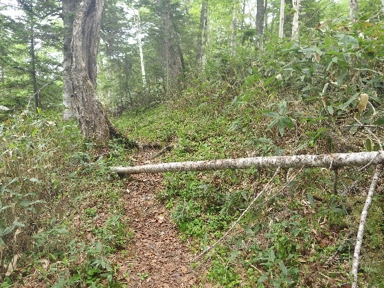 小径の倒木